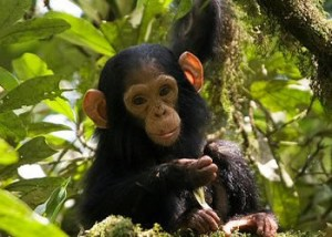 Fort Portal Chimps Trek