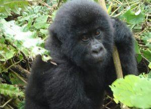 Virunga Gorilla tour