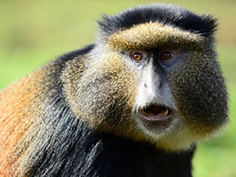 Uganda Golden Monkey tracking