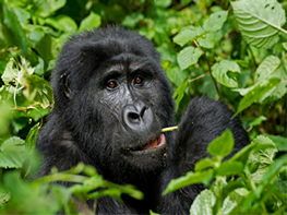 gorilla-rwanda